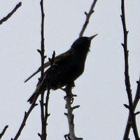 vogel ähnlich amsel